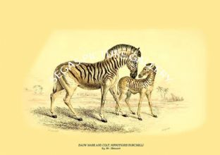 DAUW MARE AND COLT, HIPPOTIGRIS BURCHELLI